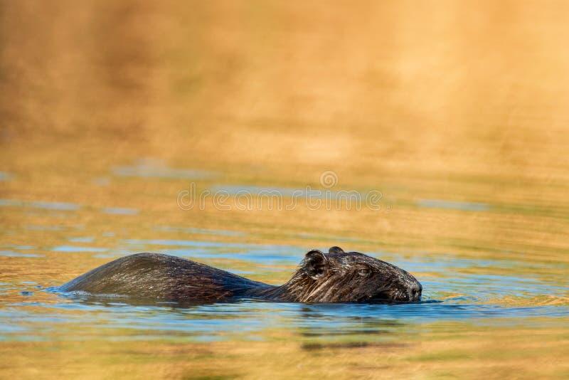 Coypu Myocastor Coypus, die in das Wasser schwimmen stockfotos