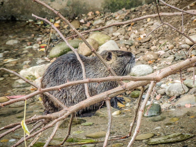 A coypu & x28;nutria& x29; stock photography