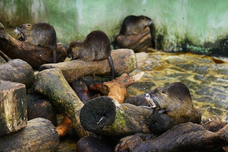 Coypu (rato do rio) fotografia de stock royalty free