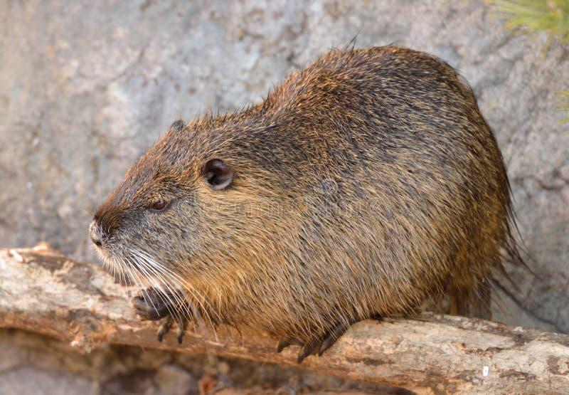Coypus do Myocastor do Coypu, igualmente conhecidos como o rato ou o nutria do rio fotos de stock