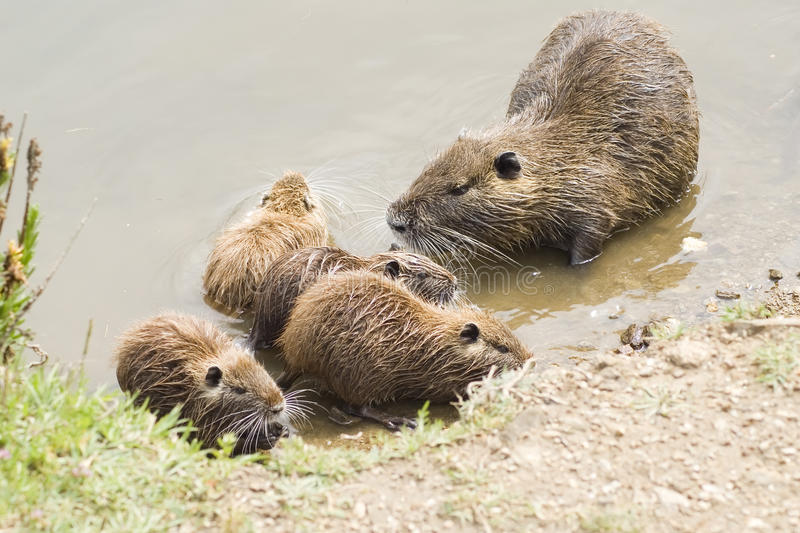Coypus family royalty free stock images