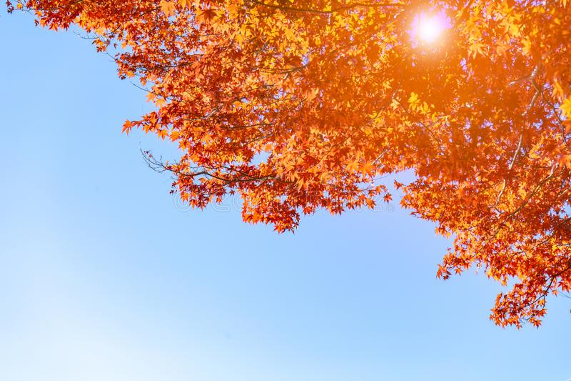 Cozinheiro bonito do Mt Fuji com a folha de bordo vermelha no outono em Japão fotografia de stock royalty free