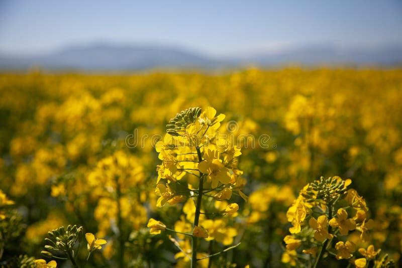 cozla的自然黄色阵营花田,与山在背景中 免版税库存照片
