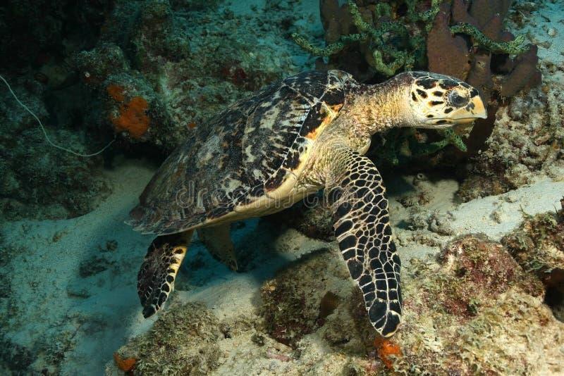 cozumel hawksbill żółw obraz royalty free