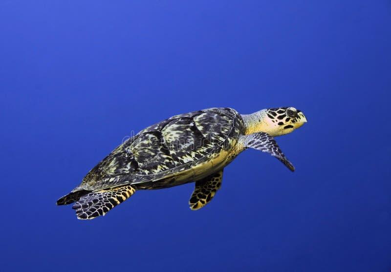 cozumel hawksbill Mexico żółw fotografia stock