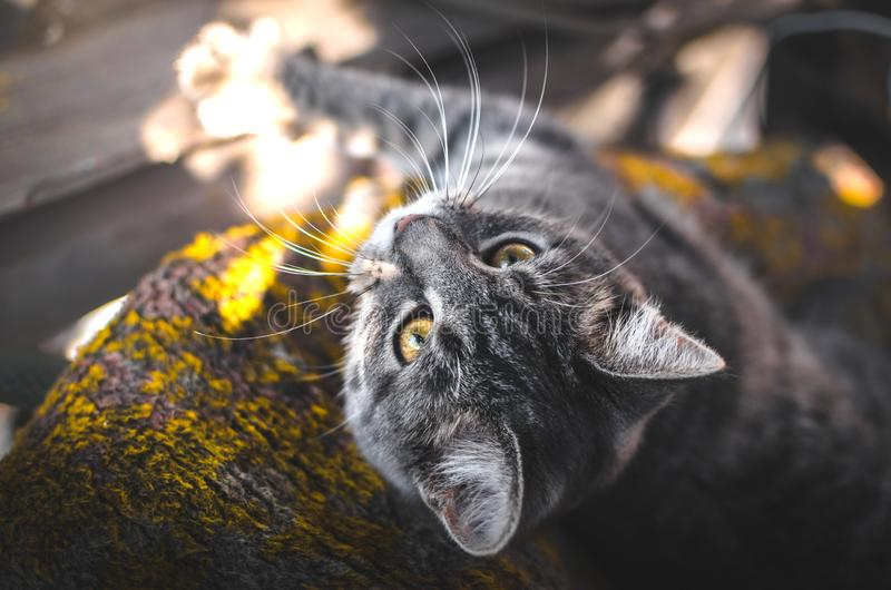 Cozy and beautiful photos of a gray kitten in the autumn light, professional portraits with great sharpness. Atmospheric, warm and cozy photos of a gray tabby royalty free stock photos