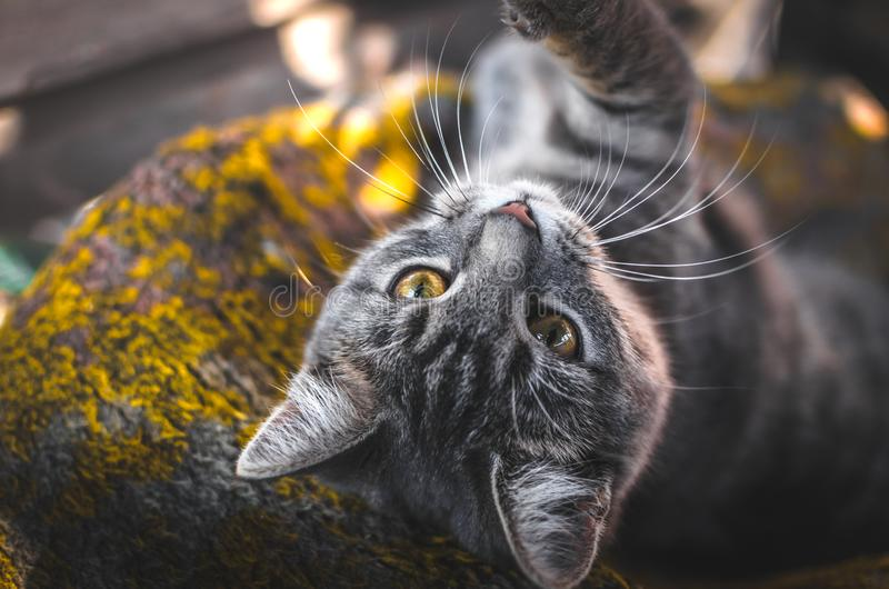 Cozy and beautiful photos of a gray kitten in the autumn light, professional portraits with great sharpness. Atmospheric, warm and cozy photos of a gray tabby royalty free stock images