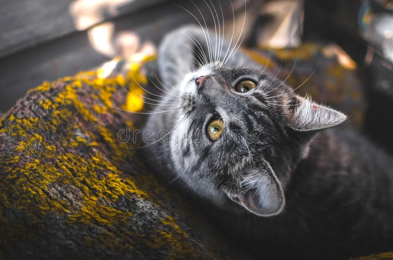 Cozy and beautiful photos of a gray kitten in the autumn light, professional portraits with great sharpness. Atmospheric, warm and cozy photos of a gray tabby stock photography