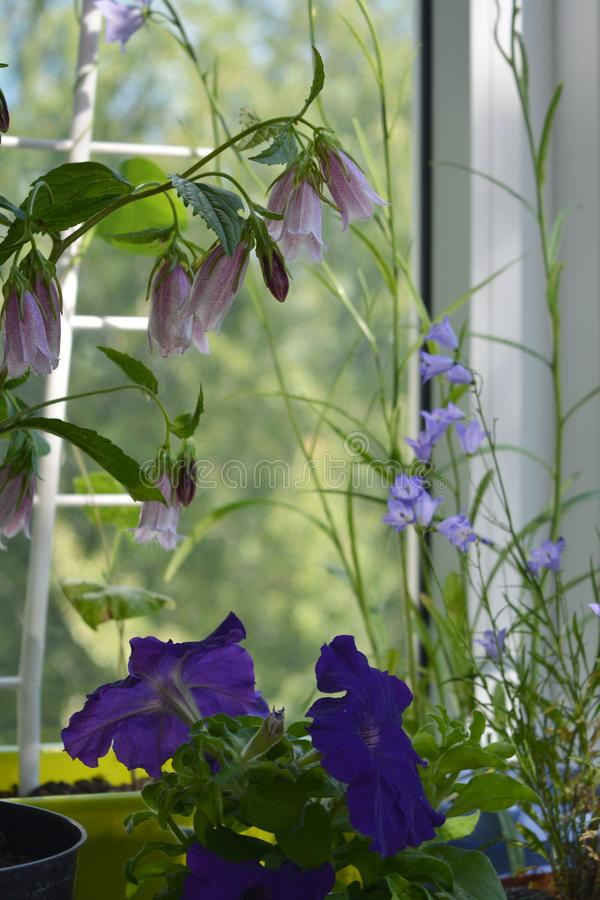 Cozy little garden on the balcony. Pink flowers of campanula punctata, violet bellflower and purple petunia. Potted plants. Near the window stock image