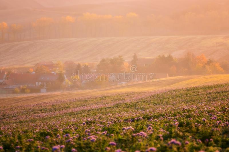 Cozy settlement surrounded by sunny agricultural fields, purple phacelia flowers, beautiful countryside landscape in sunset light royalty free stock photography