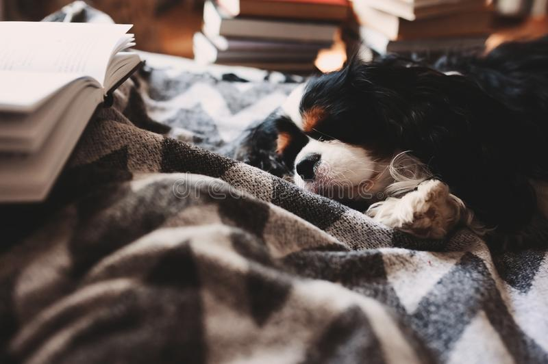 Cozy winter home with dog sleeping on bed on warm blanket, book and cup of tea. stock photography