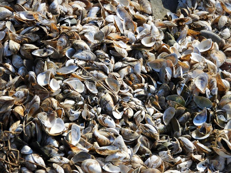 Cozze & conchiglie sul litorale di Cayuga fotografie stock libere da diritti