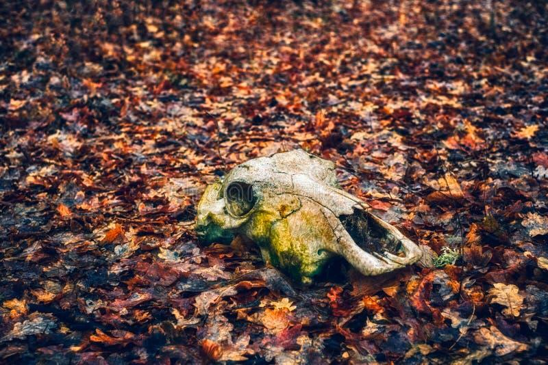 Cráneo animal en el bosque del otoño imagenes de archivo