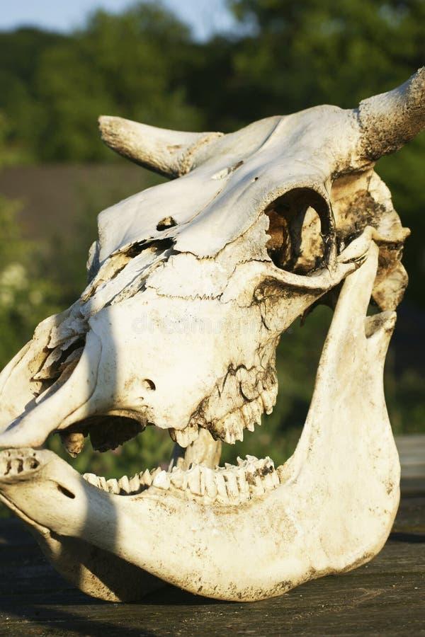 Cráneo animal en la tabla de madera, esqueleto animal del buey, naturaleza fotografía de archivo