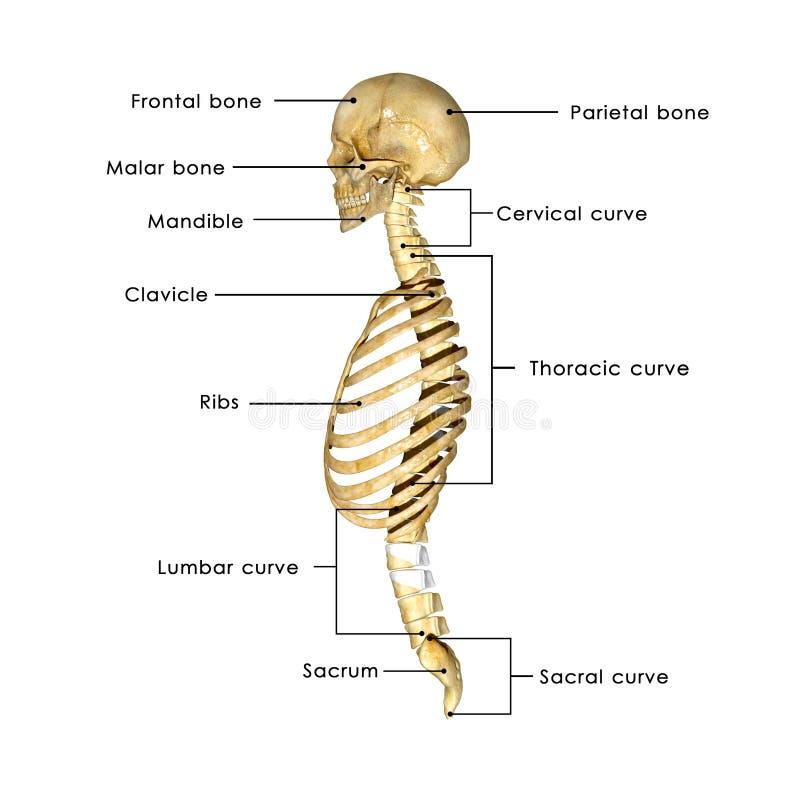 Cráneo Con La Caja Torácica Stock de ilustración - Ilustración de ...