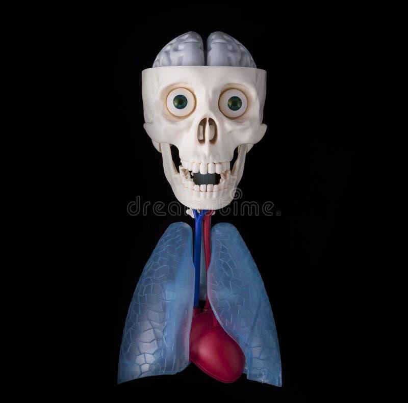 Cráneo con los órganos del cerebro, del pulmón y del corazón imagen de archivo libre de regalías