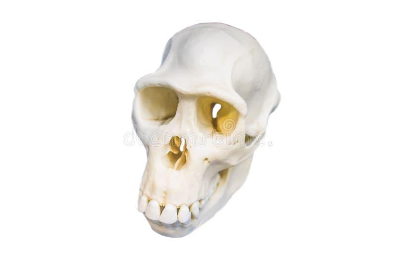 Cráneo cuatro en una evolución de seres humanos que muestra cruda La evolución humana es el proceso evolutivo que ésa llevó a la  fotos de archivo