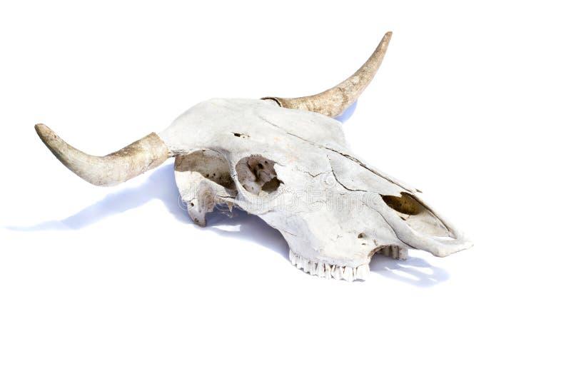 Cráneo de Bull foto de archivo