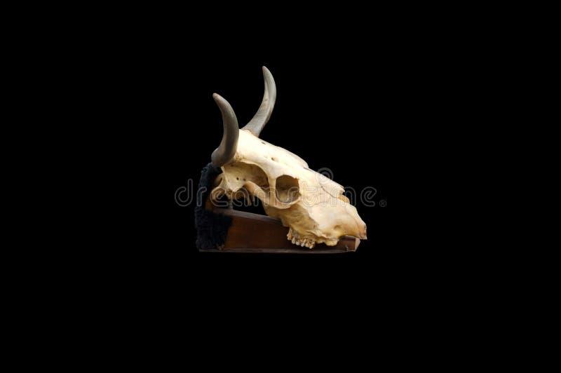 Cráneo de Bull aislado en un fondo negro imagenes de archivo