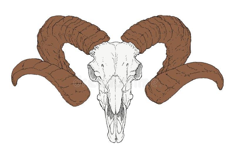 Cráneo de la cabra del dibujo detallado con los cuernos largos ilustración del vector