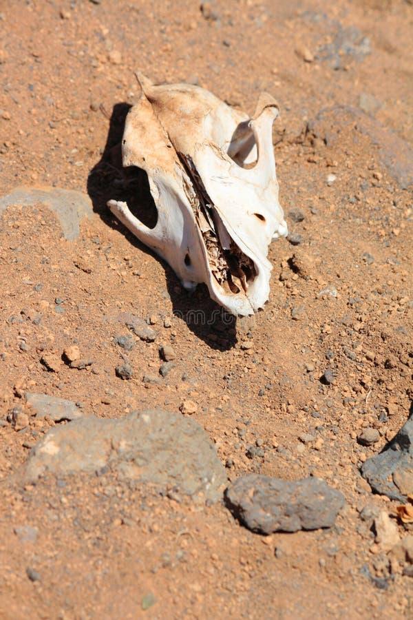 Cráneo de la cabra en el desierto imagenes de archivo
