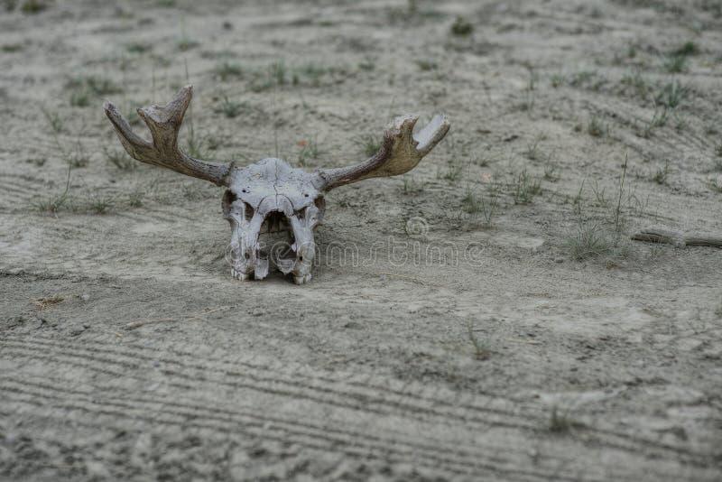 Cráneo de los alces foto de archivo libre de regalías