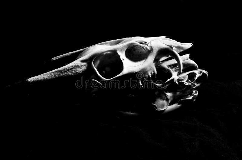Cráneo De Los Ciervos, Del Conejo Y De La Rata Imagen de archivo ...