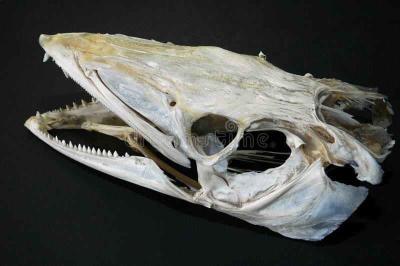 Cráneo de un pescado de bacalao foto de archivo