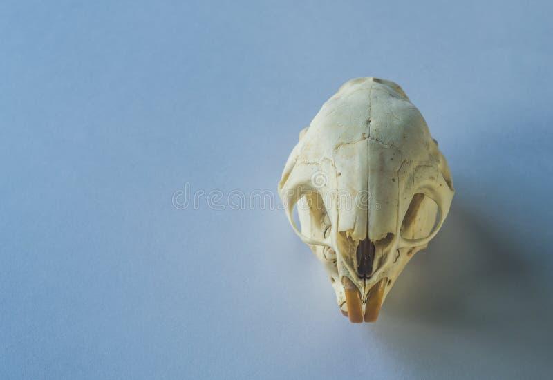 Cráneo de un roedor en fondo limpio imagen de archivo