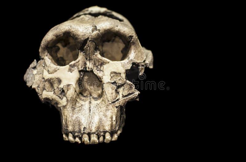Cráneo del boisei del Paranthropus fotos de archivo libres de regalías