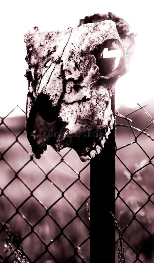 Cráneo del caballo fotografía de archivo