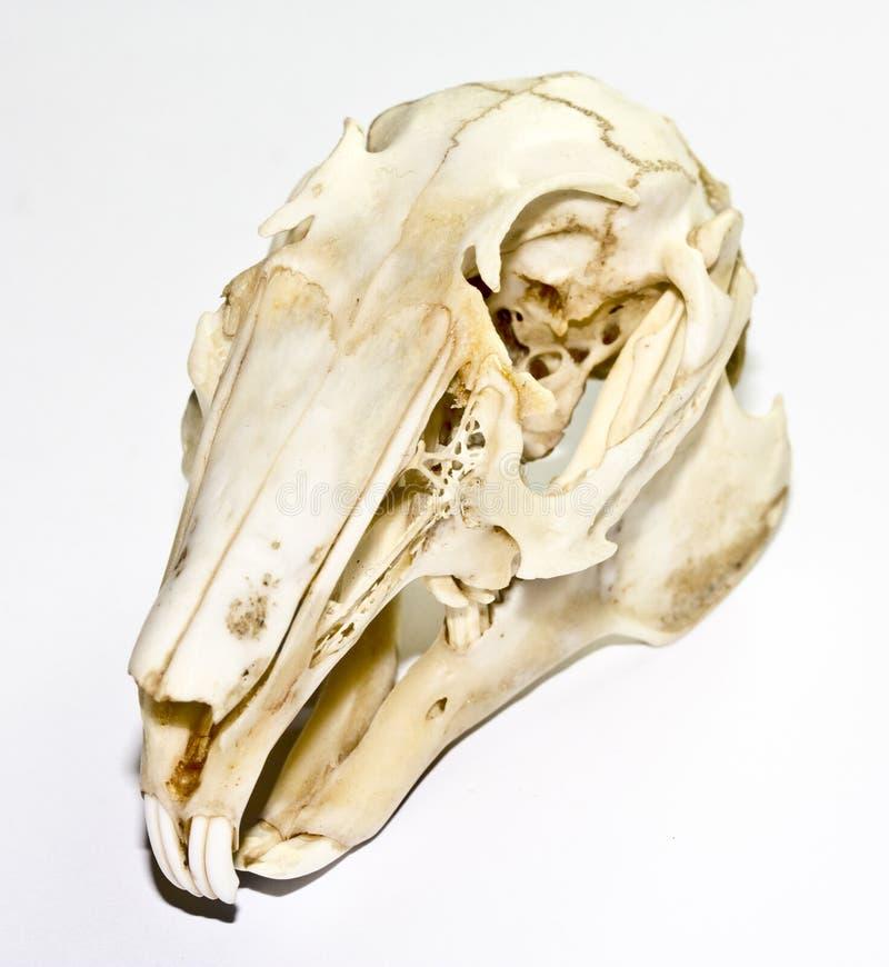 Cráneo Del Conejo En El Fondo Blanco Imagen de archivo - Imagen de ...