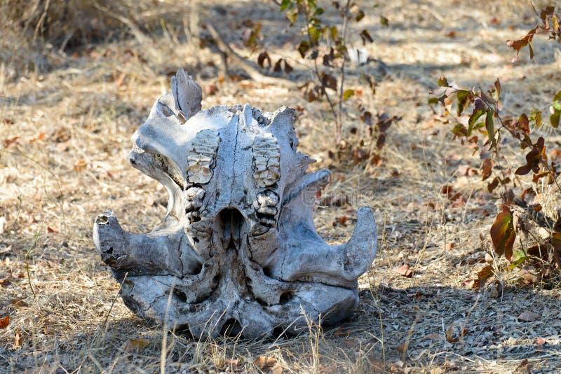 Cráneo del elefante imagen de archivo