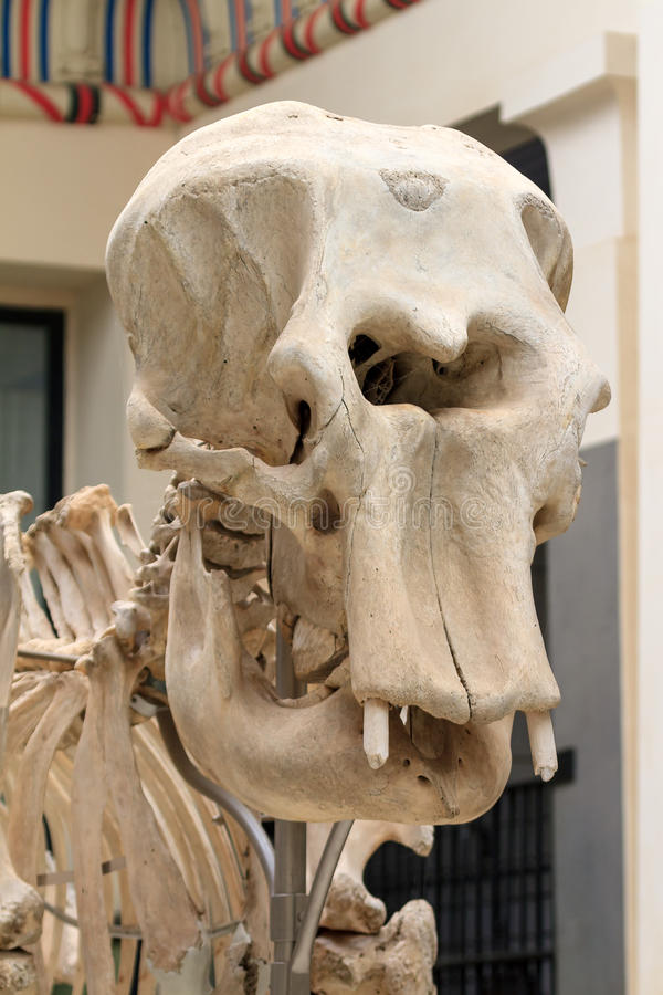 Cráneo del elefante imágenes de archivo libres de regalías