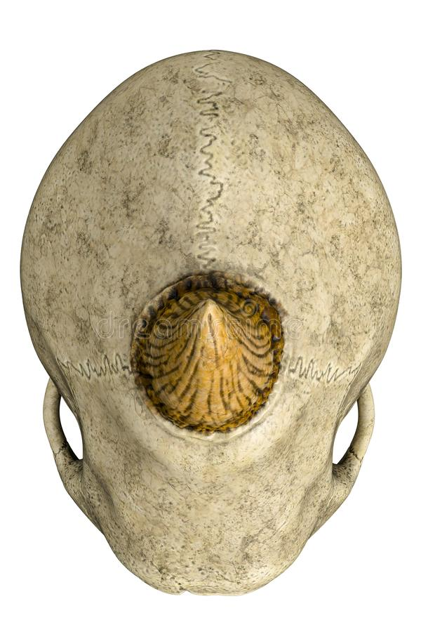Cráneo del monstruo de los Cyclops en un fondo blanco libre illustration