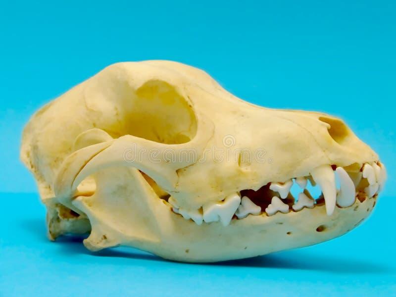 Cráneo del perro imagen de archivo