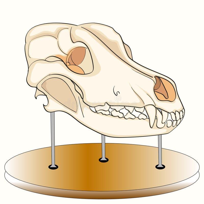 Cráneo Del Perro En El Soporte Anatomía, Un Objeto Expuesto Del ...