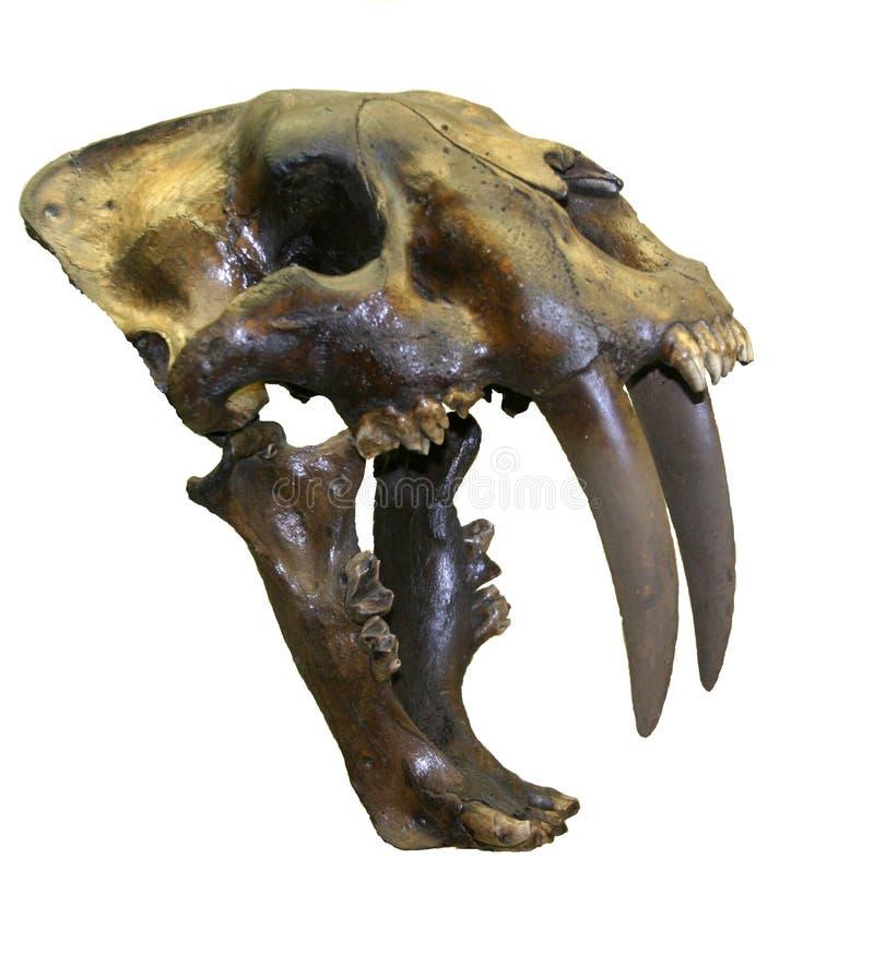 Cráneo Del Tigre Del Diente Del Sable Imágenes de archivo libres de regalías