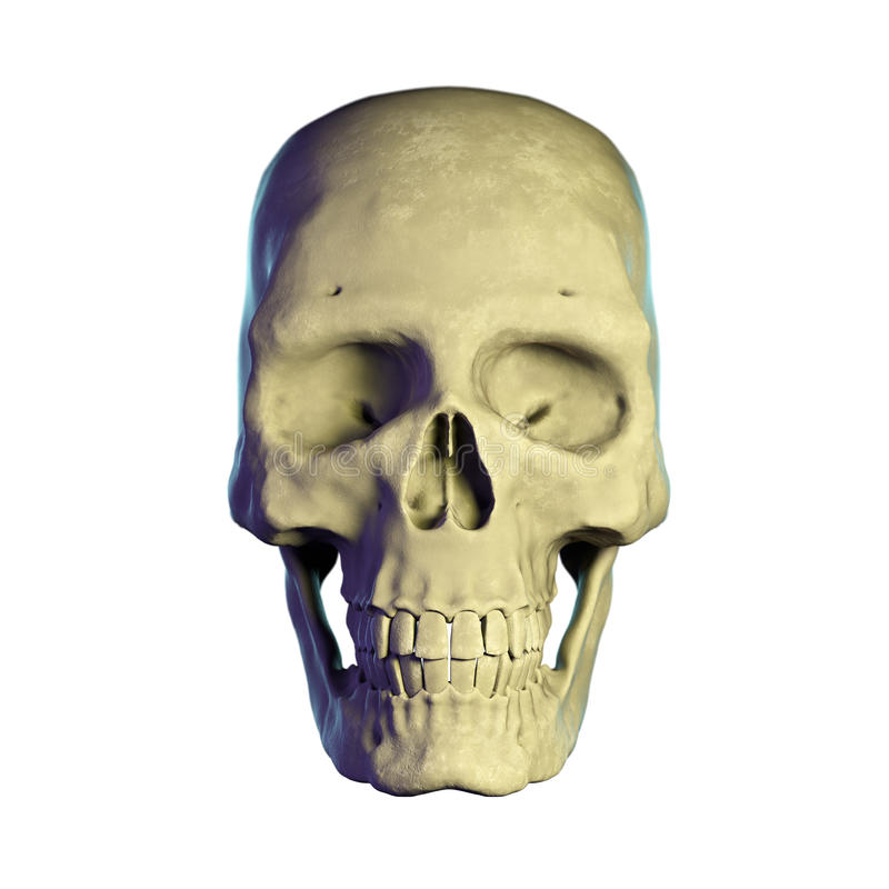 Cráneo Detallado Del Ser Humano 3d Stock de ilustración ...