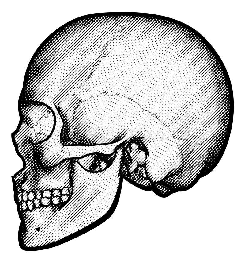 Cráneo en el dibujo del perfil ilustración del vector
