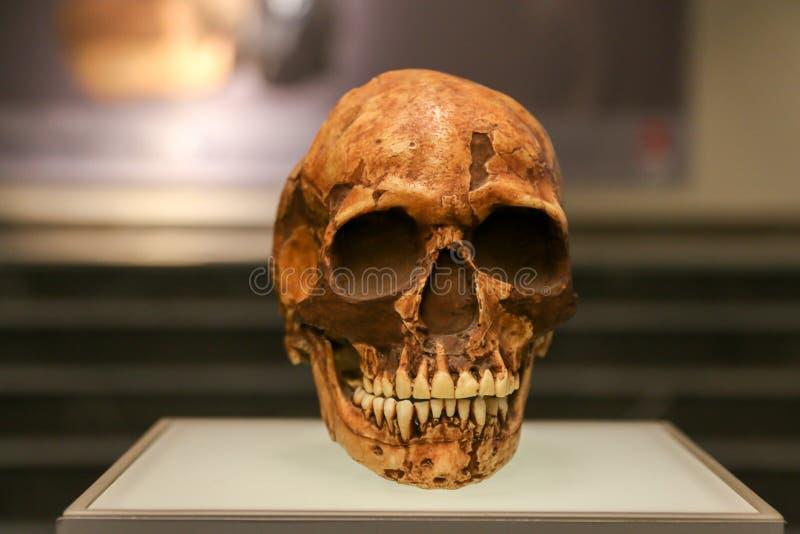 Cráneo envejecido en un soporte del museo fotos de archivo libres de regalías
