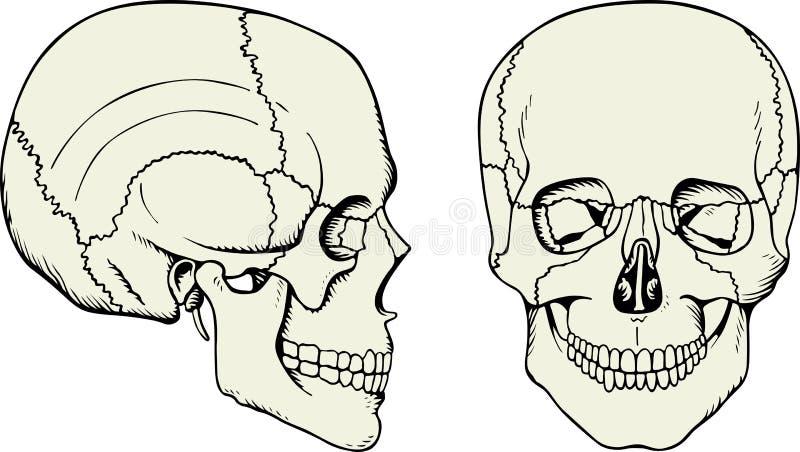 Cráneo humano ilustración del vector