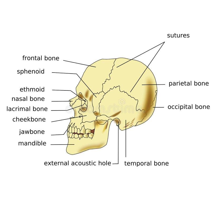 Cráneo humano stock de ilustración