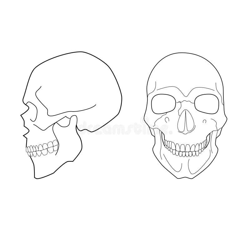 Cráneo humano ilustración del vector. Ilustración de facial - 45207737