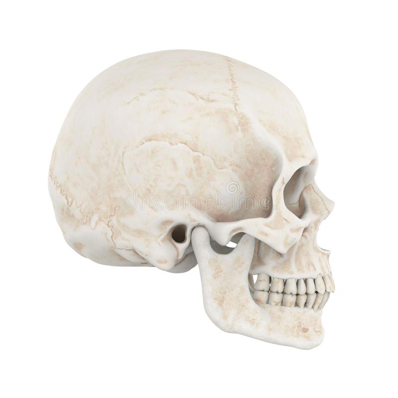 Cráneo humano aislado libre illustration