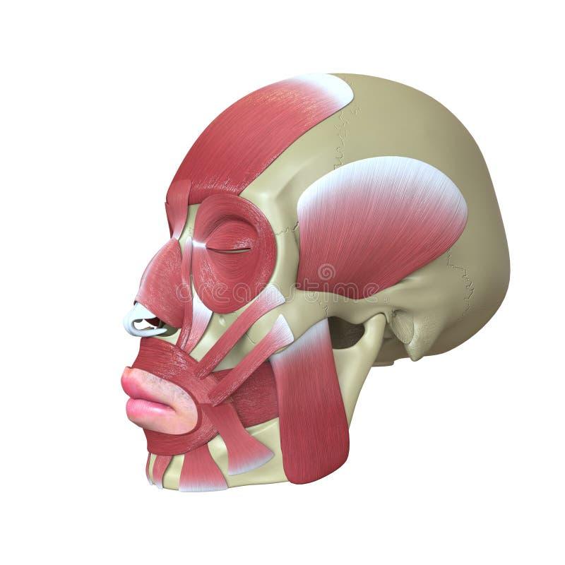 Cráneo humano rendido con los músculos stock de ilustración