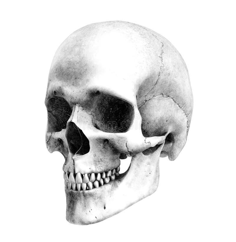 Cráneo humano - Tres-Cuarto-Vista - estilo del gráfico de lápiz stock de ilustración