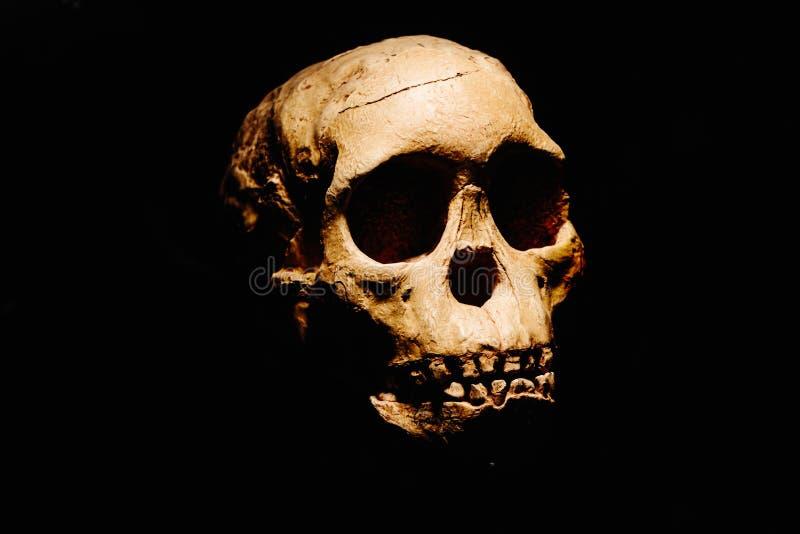 Cráneo prehistórico de nuestros ancianos fotografía de archivo libre de regalías