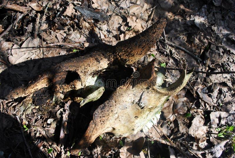 Cráneo quebrado viejo del toro, fondo marrón putrefacto de las hojas imagen de archivo libre de regalías
