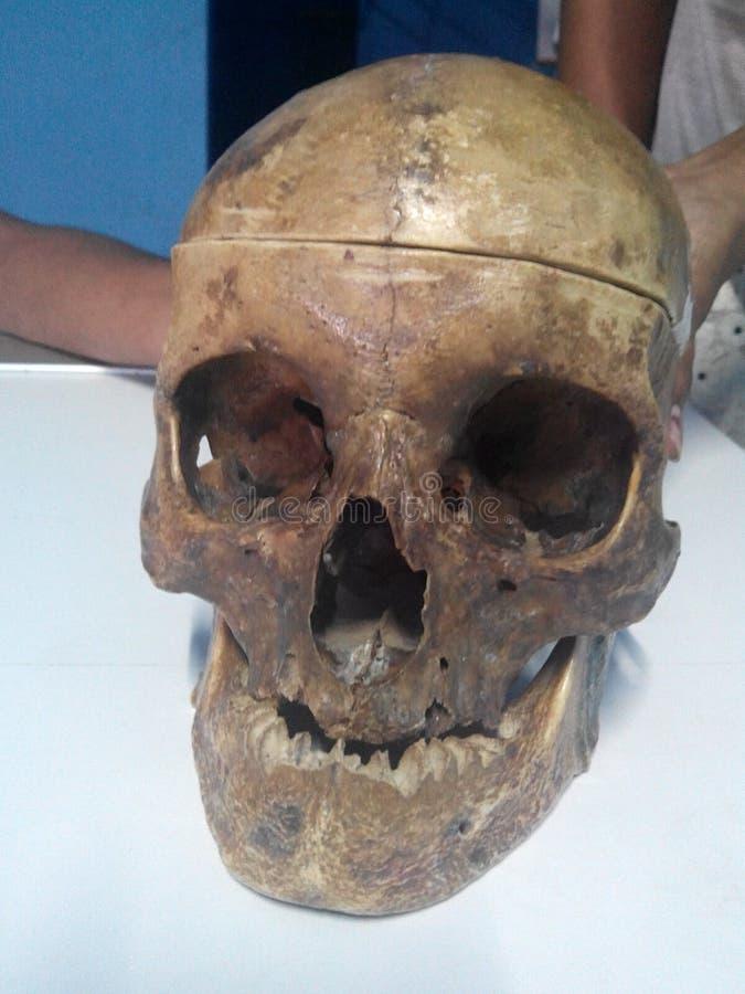 Cráneo real fotografía de archivo